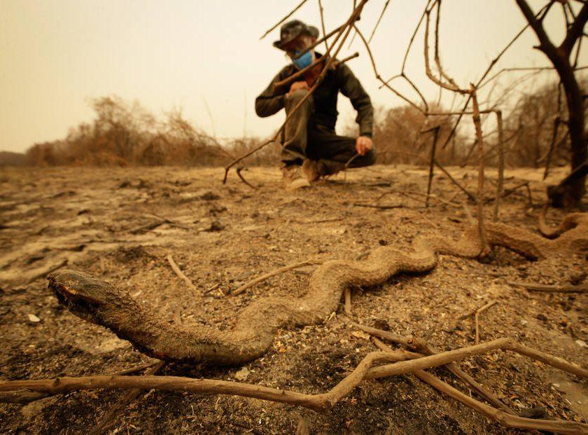 Fotos que comprovam que o Pantanal virou um cemitério de animais queimados a céu aberto