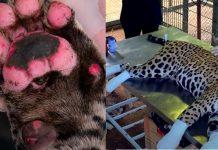 Video Recuperação de ousado, onça pintada que teve patas queimadas